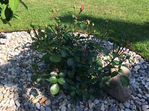 Další růže v zahoně s kačírkem za domem