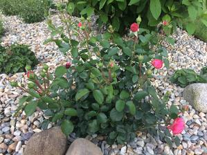 Protější růže Leonardo da Vinci v záhonu s kačírkem