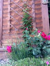 Koutek u zahradňáku floxy, sedum, levandule, růže a clematis