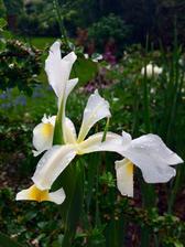 Poprvé mi kvete Iris ....kapku to schytal květ od toho slejváku