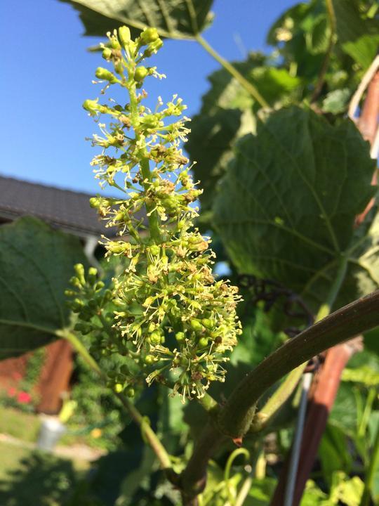 Kvete hroznové vino