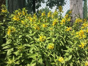 Vrbina tečkovaná pod švestkou v rohu zahrady