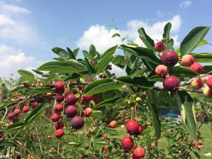 plody muchovníku - je obsypaná - letos poprvé víc než 5 kuliček