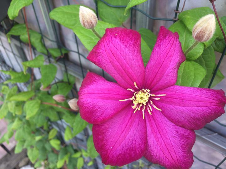Dnes pustil na svět první květ clematis rouge cardinal