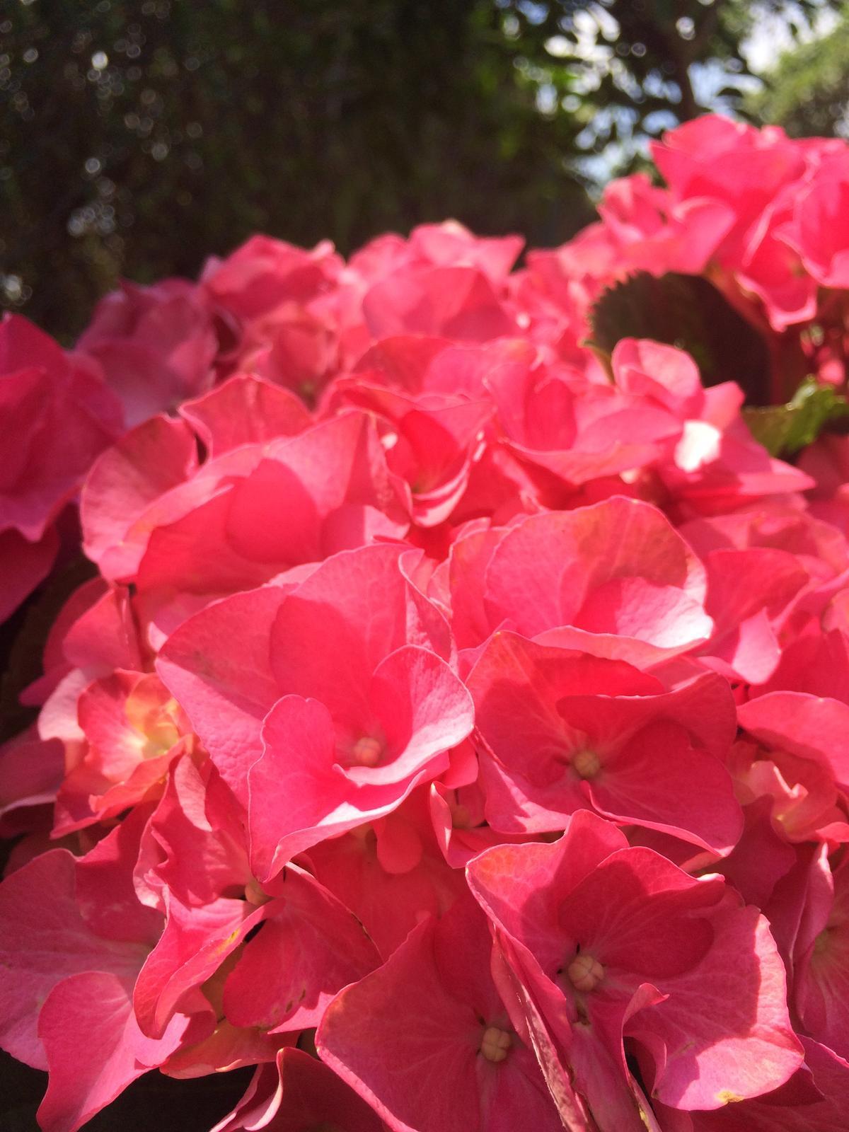 Dekorace z květin Pro radost - chtěla bych vyzkoušet fígl na prodloužení života květu hortenzie ve vaze