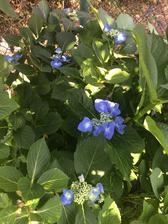 Hortenzie velkolisté ´teller ´  letos má jen malé květy ..... ale modrá je dobrá - děkuji všem, kdo k nám rádi chodí na virtuální návštěvu zahrady a tak díky vám má i mé album modrý proužek 💙