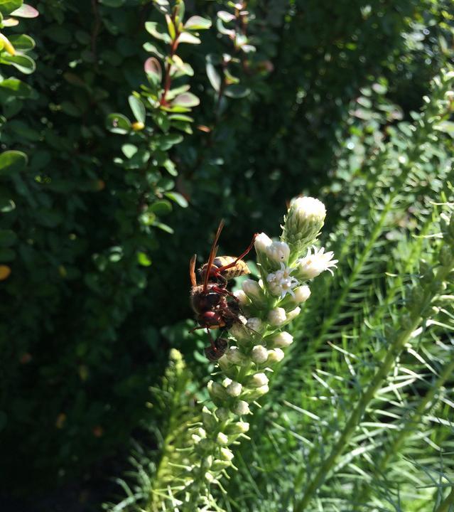 Sršeň na šuškardě přepadla včelu... ukousne zadeček s žihadlem a zbytek sežere .... potvora