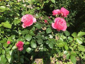 Druhé kvetení růže Leonardo da ´Vinci ´
