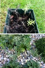 loni na podzim jsem nařízkovala levanduli a nechala jsem květináč venku přes zimu.... přírodní výběr, přežily a letos se ujaly ty nejsilnější 2 kousky a už jde 1 do květu
