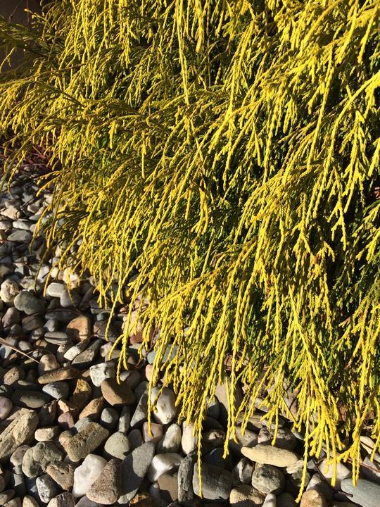 """Chamaecyparis pisifera ´Filifiera Aurea Nana´ na sluníčku má krásně žluté """"nosy"""" a v zimě je úžasný do vazeb a věnců... díky paní sousedce ... darovala nám ho před par lety, když začali stavět a museli rušit obsazení zahrady"""