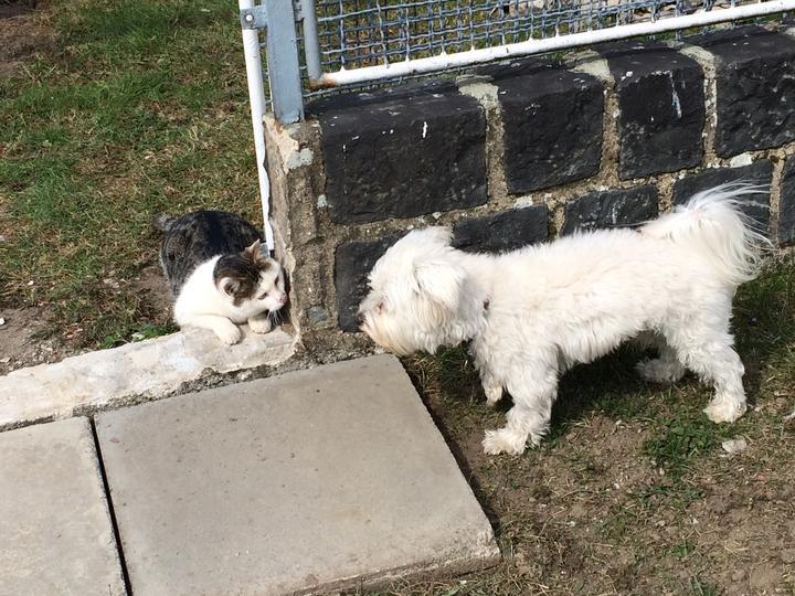 Švagrův kocour miluje  číhat a vyskakovat ze skrýší na našeho hafa.... tady nestíhá skočit, pes ho odhalil