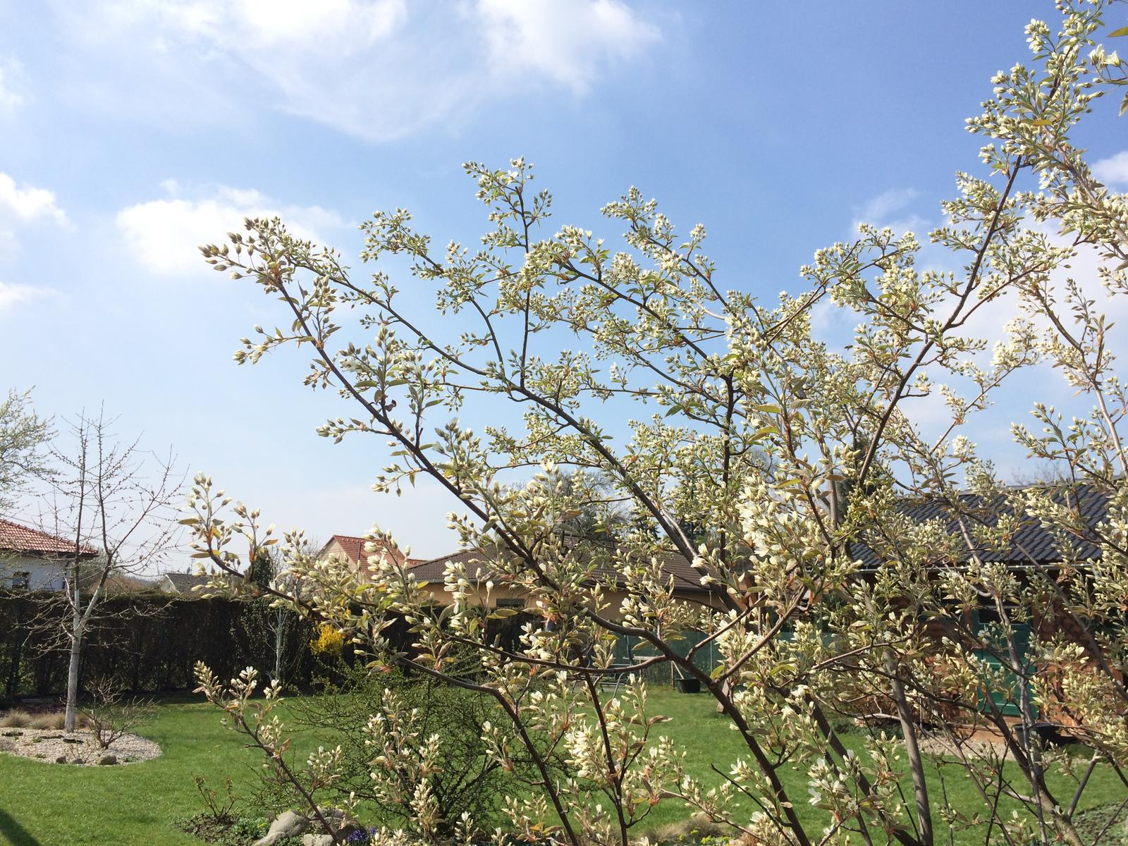 Dům i Zahrada 2019 - Muchovník těsně před rozkvětem