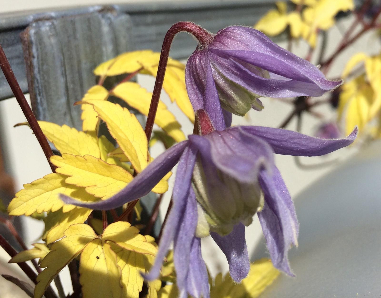 Dům i Zahrada 2019 - Konečně rozvinul květy clematis Stolwijk gold... mám ho na barelů s vodou, kde se ne moc dobře fotí