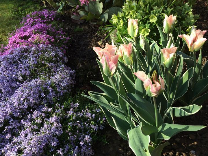 Konečně očekávané tulipány rozkvetly
