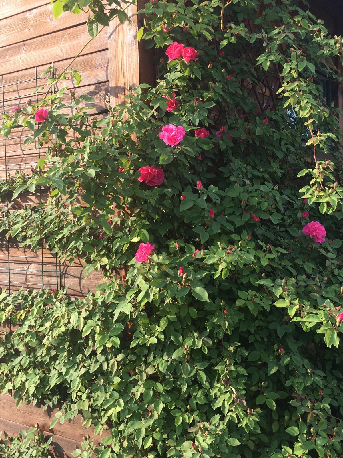 Zéphirin Drouhin - Letos vyvazuju i na boční stěnu zahradního domku