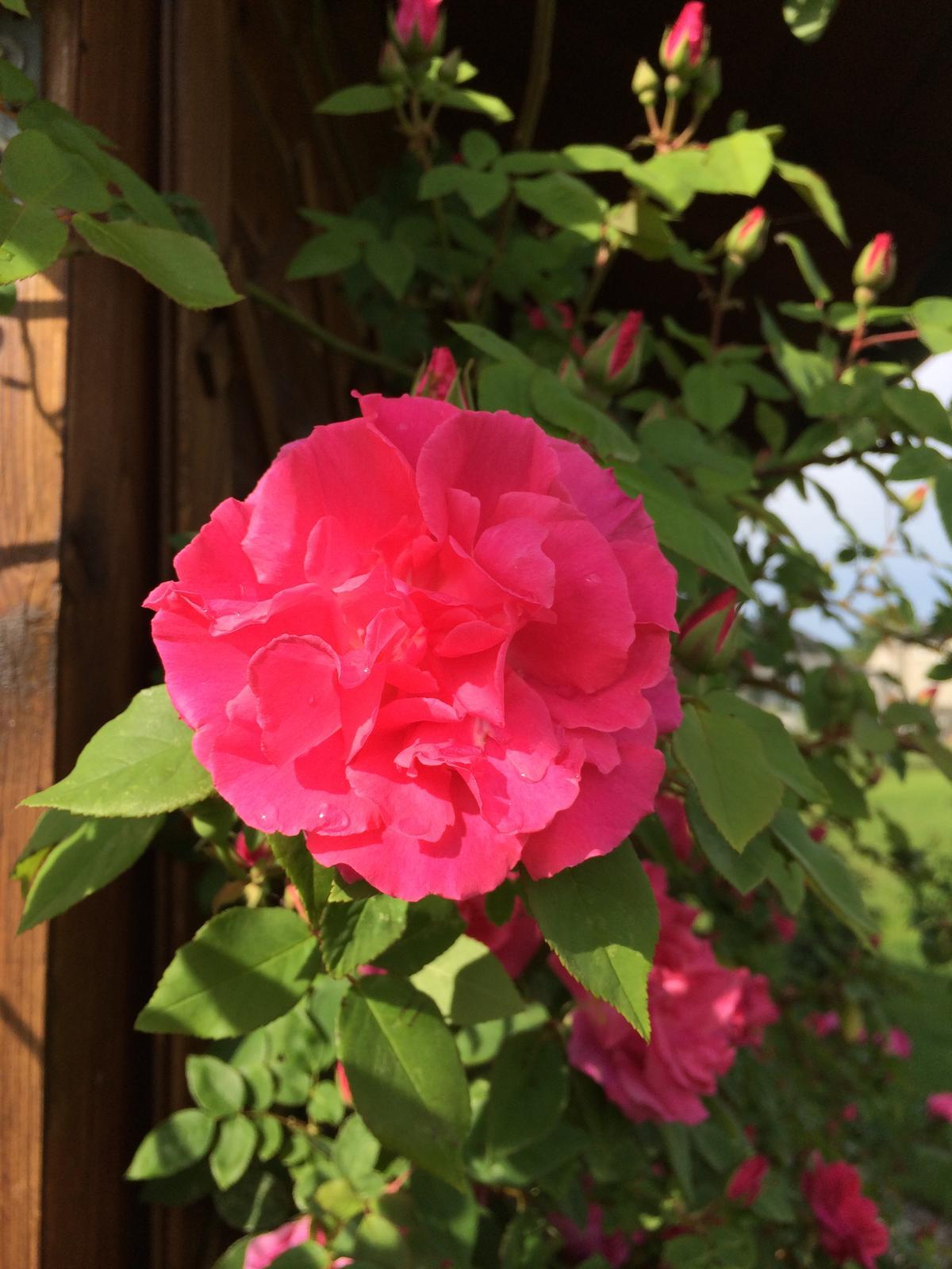 Dům i Zahrada 2019 - Miss ´Zeffy ´  alias Zéphirin Drouhin  beztrnná, silně vonící climber růže