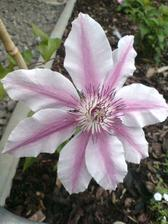 """Clematis """"Nelly Moser"""""""