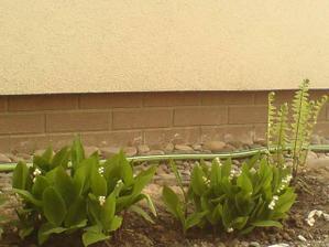 východní záhon- konvalinky a kapraď, na fotku se nedostal přísavník, čemeřice,sasanka,hosta, bergenie, čistec a dvě okrasné trávy