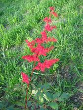 červená čechrava