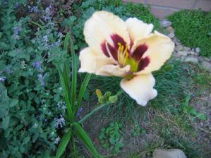 """21.9.  dnes konečně rozkvetla Denivka """"Bonanza"""" , měla by mít 10 květů  začíná zlobit foťák nechce zaostřit"""