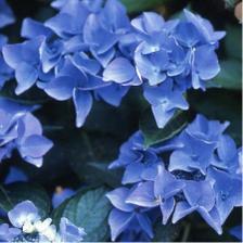 Hortenzie modre a biele udavaju farebnu atmosferu svadby