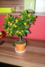 nový citrus (mandarinka) .. musím ešte kúpiť nejaký pekný štýlový kvetináčik do ktorého ju dám