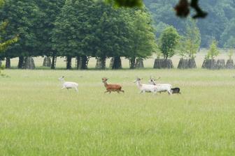 Bílí jeleni a jeden klasický :-)