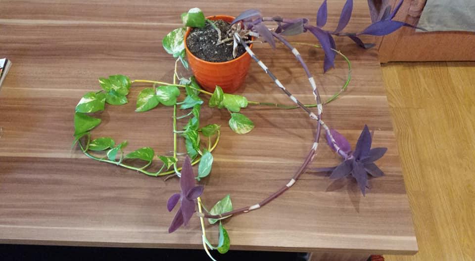 2 ks izbových rastlín - Obrázok č. 1