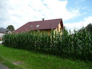 """Letošní """"provizorní plot"""" z kukuřice :))"""