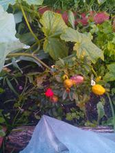chilli papričky,nesmí chybět :-)