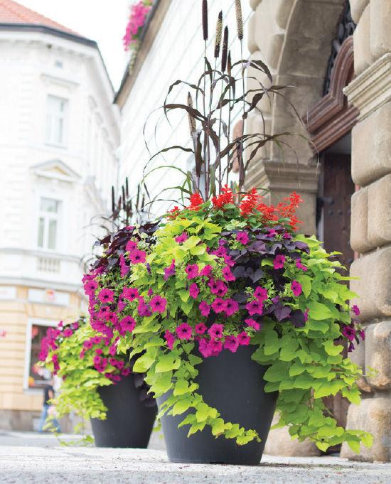 Zdravím všechny. Chtěla bych poprosit, nevěděla by některá z vás, co je to za rostlinky. Ty světle zelené a tmavě fialové s velkými lupeny. - Obrázek č. 1