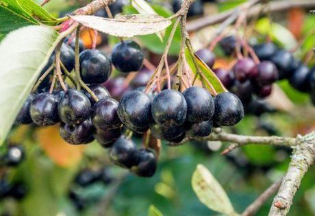 Arónia stromková Galicjanka - Obrázok č. 1