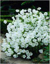 Campanula isophylla - zvonek stejnolistý - bíle kvetoucí odrůdě se říká nevěsta a modré ženich 