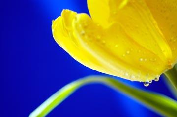 Tulipápy, tulipány a zase jen tulipány - podruhé - obrázky