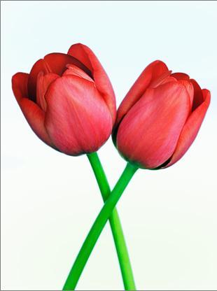Tulipápy, tulipány a zase jen tulipány - podruhé - vhodné