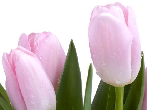 Tulipápy, tulipány a zase jen tulipány - podruhé - pro