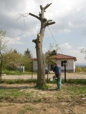 výrub stromov 6