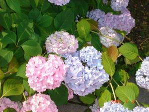 Tak pro svatebni kytku jsem se rozhodla hortenzii modrou uprostred a okolo nejake bile kvety
