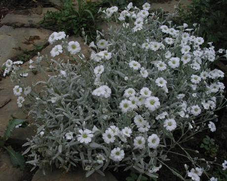 Rožec plstnatý/Cerastium tomentosum  - Obrázok č. 1