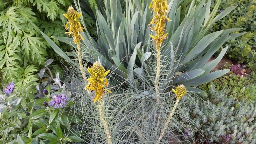 Asfodelka žltá - Obrázok č. 1