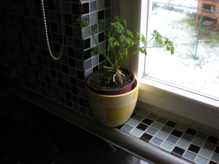 Náš  byteček - místo kytiček mám v kuchyni petržel