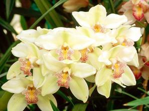orchidea ... kyticka bude z nich