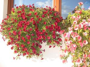 Focené dnes,ještě pořád krásně kvetou,nádhera :)