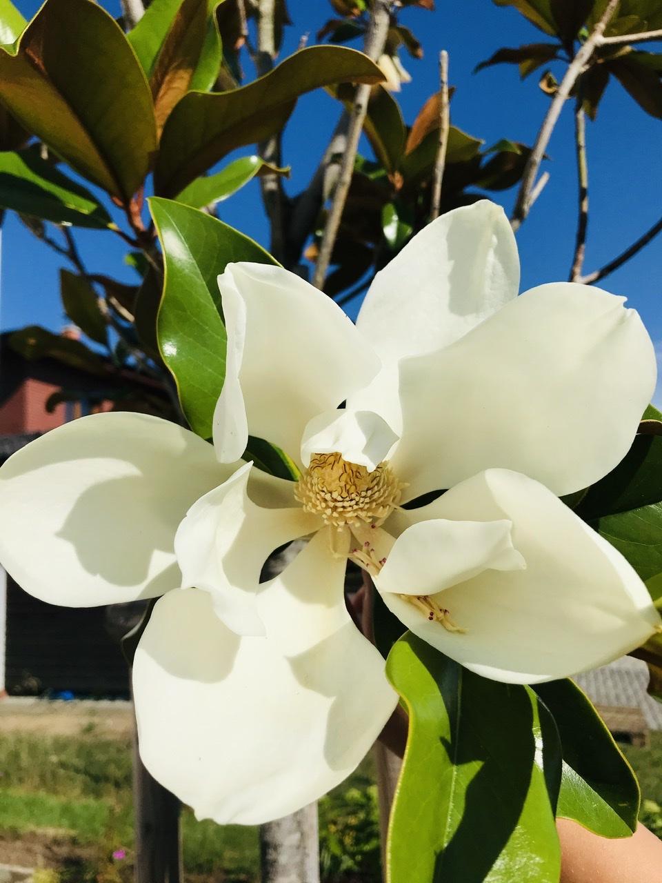 Naše L-ko - začiatok 4. roku bývania - Letná kvitnúca magnolia - kvietky asi 25 cm