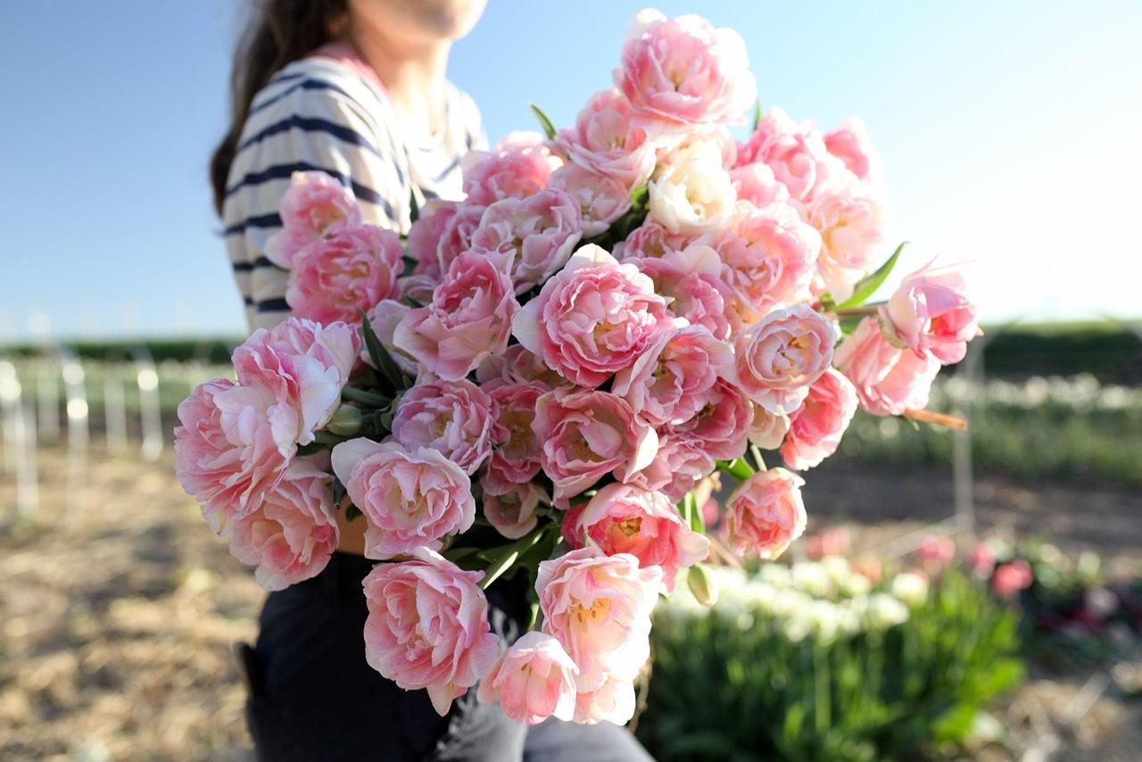 Naše L-ko - začiatok 4. roku bývania - č.2 - plnokvetý tulipán - jemnej pudrove farby pripomína ruže. Tieto sme už mali a boli nádherné.