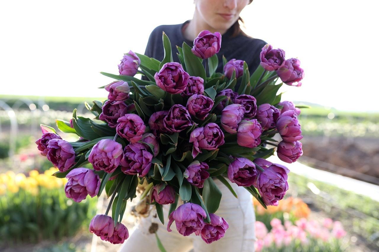 Naše L-ko - začiatok 4. roku bývania - tulipán č. 3  - plne fialový plnokvetý tulipán, minulý rok som ho vyskúšala v predzahrádke, predminulý rok na male časti záhonu a tento rok ich určite doplnam