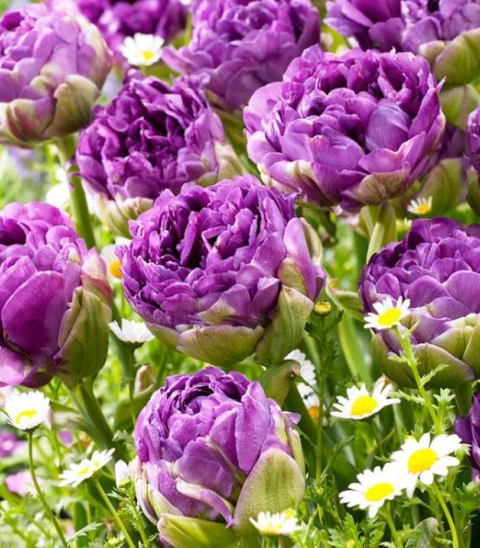 Naše L-ko - začiatok 4. roku bývania - č.5 - velký fialový pivonkový tulipán