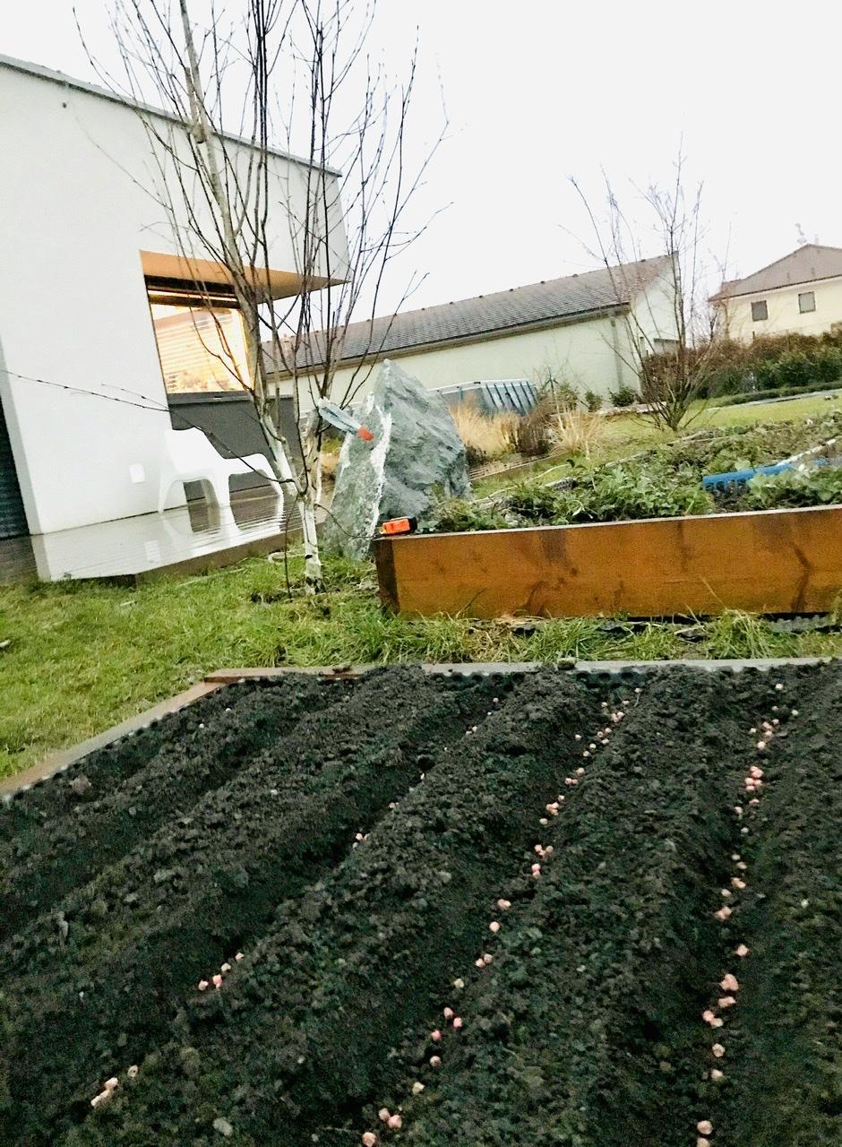 Naše L-ko - 2021 - stále dokončujeme - Po zime obrobená hriadka a prvý hrášok v zemi. Hrášok bude v 2 hriadkach ale sadit ho budem v odstupoch vzdy po 14 dnoch polku hriadky aby postupne dozrieval a stihal sa pojesť. Na jeho miesto následne v máji pridu rajčiny a papriky