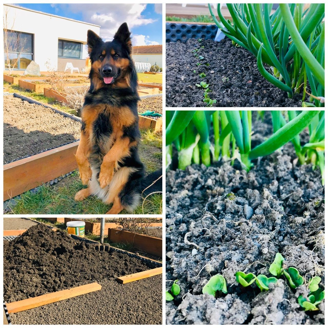 Naše L-ko - 2021 - stále dokončujeme - Moj verný záhradník :)  a mladé reďkovky. Zároveň nachystaná jedna z posledných hriadok pre poslednú 4. várku hrášku. Prvá várka hrášku už klíčí.