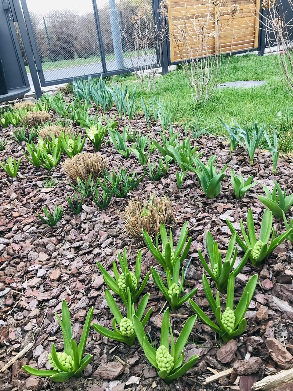 Naše L-ko - 2021 - stále dokončujeme - Predzahrádka - 5 metrový pás s cibulovinami a ozdobnicami. Tesne po ostrihaní ozdobnic začínaju pučať hyacinty, narcisy a tulipány, ktoré su sadené na vyplnenie obdobia dokial okrasná tráva znovu zazelená.